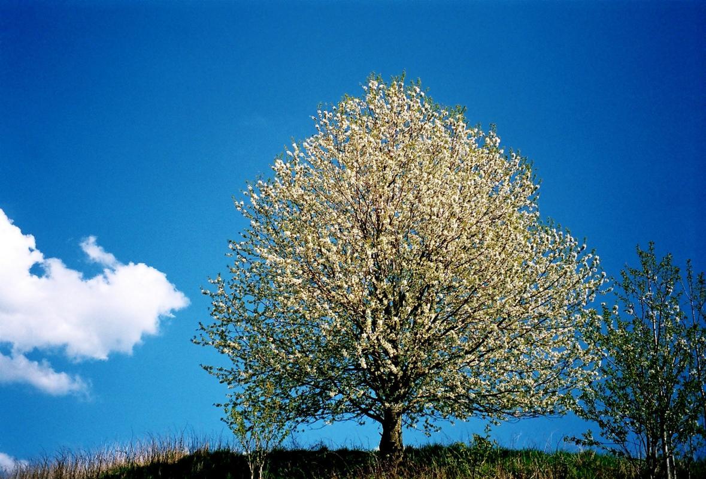 blütenbaum jpg