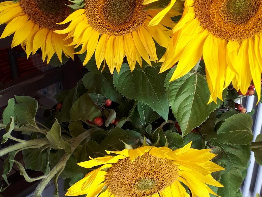 Sonnenblumen zum Erntedank im Pfarrheim