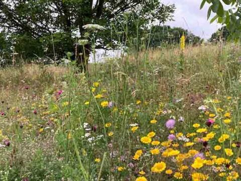 So schön kann Artenvielfalt sein: Blühweise bei Alsmoos (Foto: Karl-Georg Michel)